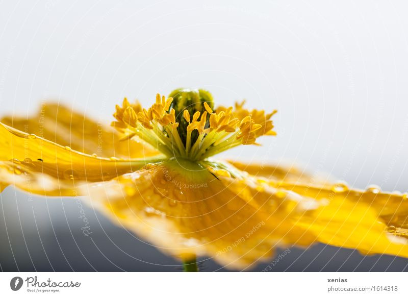 Macro photograph of a yellow flower Iceland poppy in front of a light background Stamen Water Drops of water Spring Summer Rain Flower Blossom Yellow Gray Green