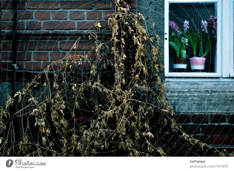 thorn sleep Plant Wall (building) Window Old Derelict Dried Shriveled Winter Flower Brick Seasons Hyacinthus flower window wall Exterior shot