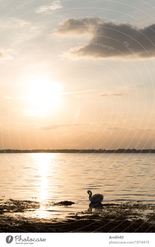 Swan at sunset Environment Nature Water Sky Clouds Sunrise Sunset Sunlight Summer Beautiful weather Beach Baltic Sea Animal Wild animal 1 Esthetic Glittering
