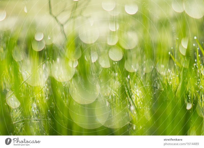 Sun drops - blades of grass and dewdrops dipped in blurriness i Harmonious Environment Nature Plant Water Drops of water Spring Summer Grass Leaf Meadow Dew