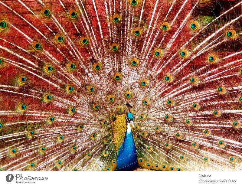 look up Peacock Animal Bird Eyes