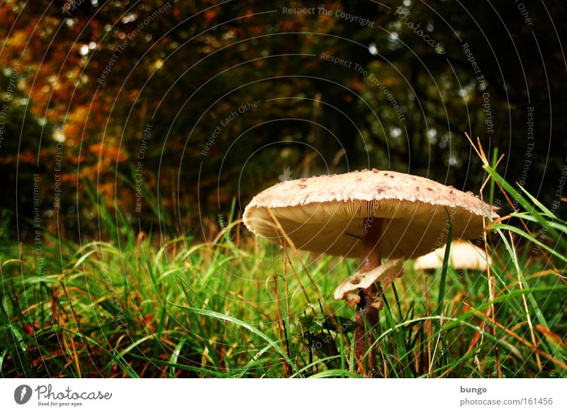 Nature Loneliness Forest Autumn Grass Wet Growth Fantastic Damp Mushroom Fairy tale Clearing Woodground Parasol mushroom