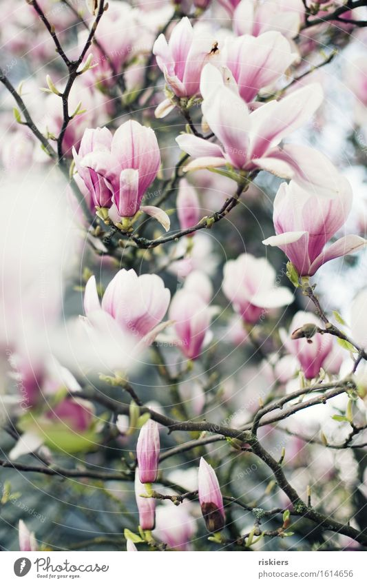 Nature Plant Beautiful White Environment Spring Garden Pink Esthetic Blossoming Magnolia plants