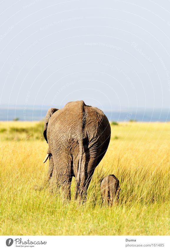 security Baby elefant Wilderness Safari Grass Harmonious Safety (feeling of) Elephant Animal Nature Landscape Protection Kenya Africa Trust Mammal wildlife