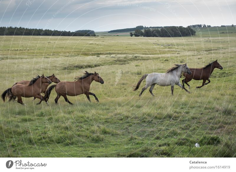 Galloping Horses II Ride Equestrian sports Nature Landscape Plant Animal Grass Pasture Meadow Field Group of animals Running Esthetic Athletic Wild Brown Gold