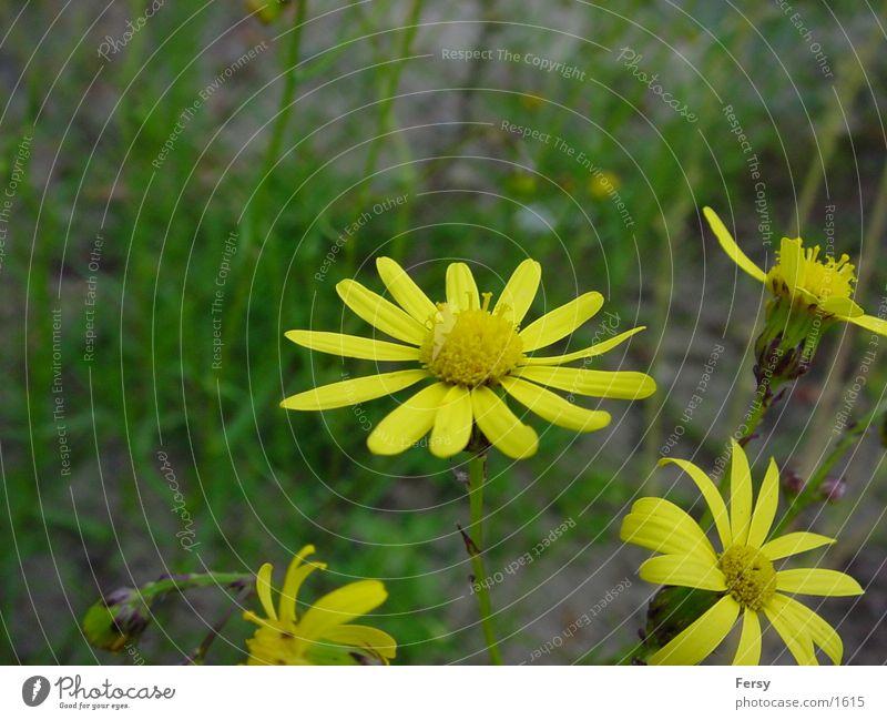 primelmaster Flower Nature