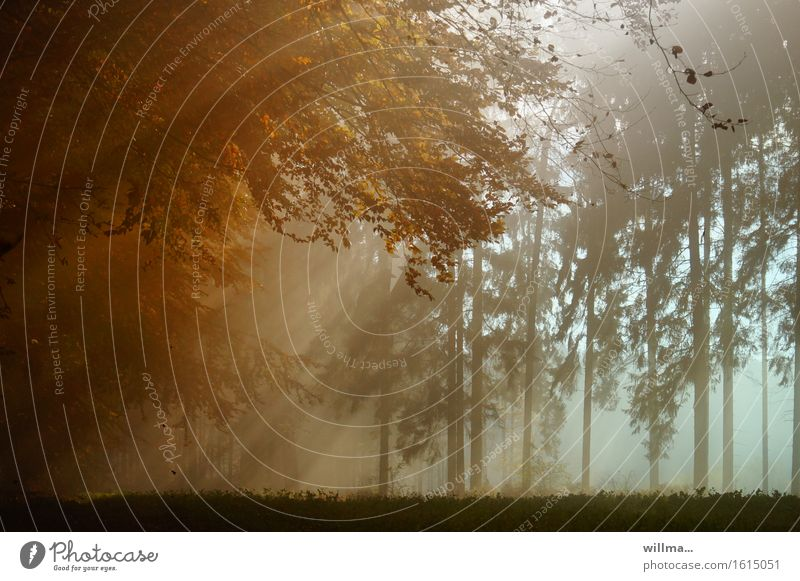 Sunbeams penetrate the mist in the autumn forest Autumn Forest Nature Sunlight Autumnal Fog Autumnal colours Mixed forest Colour photo Exterior shot