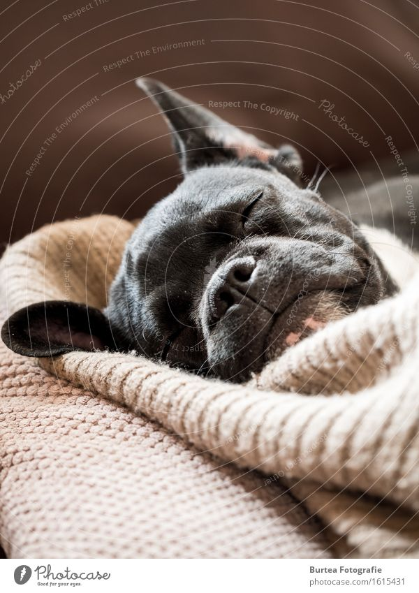 sleeping frenchie Animal Pet Dog 1 Sleep Happy Cute 2016 barney March French Bulldog Burtea Photography Colour photo Interior shot Day Light Long shot