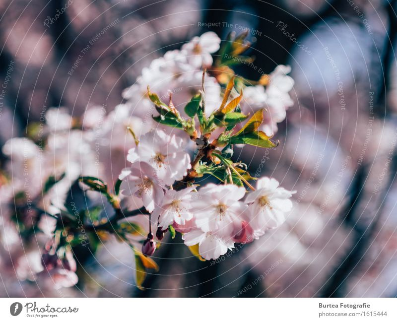 cherry blossom Nature Plant Spring Tree Flower Ornamental cherry Garden Beautiful Warmth Multicoloured Green Pink Blossom Blur Burtea Photography Colour photo