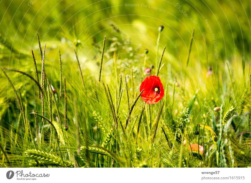 Nature Plant Beautiful Green Summer Flower Red Yellow Natural Field Beautiful weather Poppy Cornfield Agricultural crop Foliage plant Wild plant