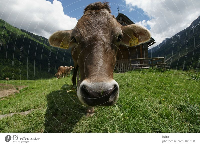 Cow for you Livestock Agriculture Cattle Milk production Elk cow Dairy Products Mammal brown cattle
