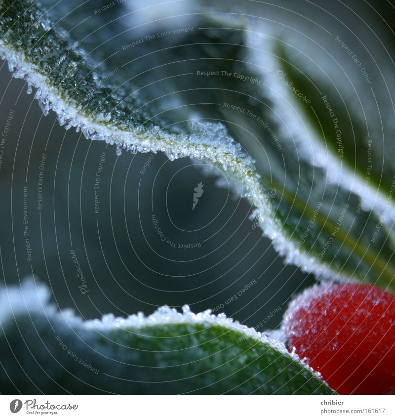 Christmas & Advent Winter Macro (Extreme close-up) Cold Snow Fruit Close-up Corner Frost Frozen Edge Berries Poison Hoar frost Ilex
