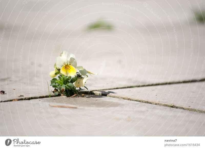 Plant Summer Loneliness Environment Yellow Spring Blossom Small Power Force Hope Optimism Willpower Gap Resolve Pansy