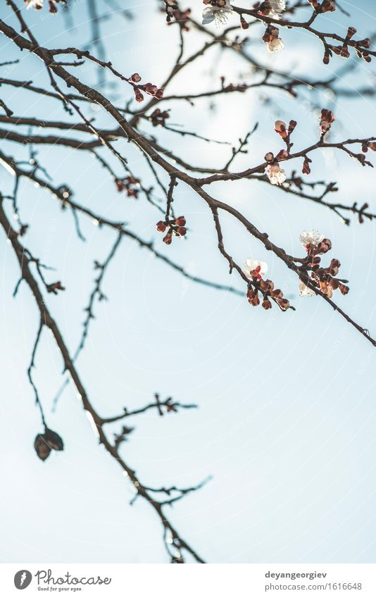 Blooming apricot tree on sky Sky Nature Plant Blue White Tree Flower Blossom Garden Bright Pink Blossom leave Apricot