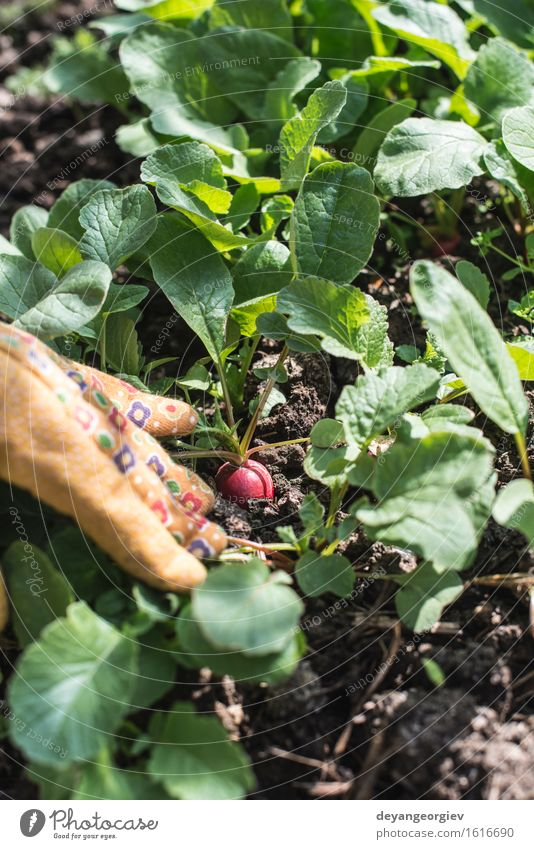 Picking radishes in the garden Woman Nature Plant Green Summer Hand Red Leaf Adults Garden Growth Earth Fresh Vegetable Harvest Vegetarian diet