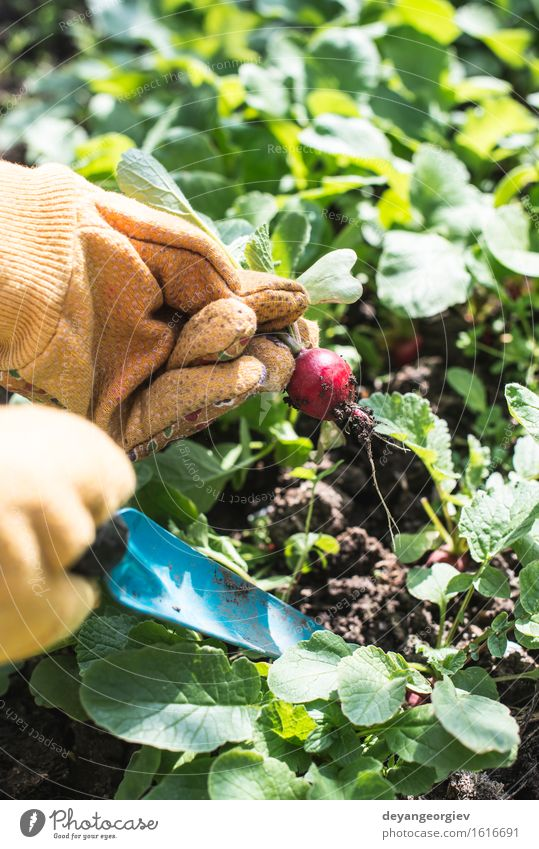 Picking radishes in the garden. Vegetable Vegetarian diet Summer Garden Gardening Woman Adults Hand Nature Plant Earth Leaf Growth Fresh Green Red Organic food
