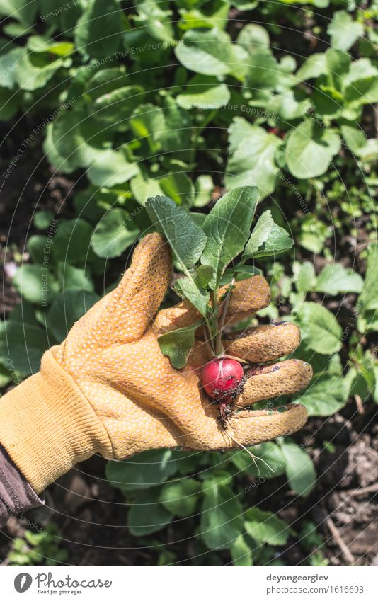 Picking radishes in the garden Vegetable Vegetarian diet Summer Garden Gardening Woman Adults Hand Nature Plant Earth Leaf Growth Fresh Green Red Organic food