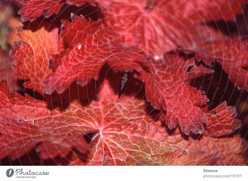 Autumn mood 1 Leaf Red Macro (Extreme close-up) Nature