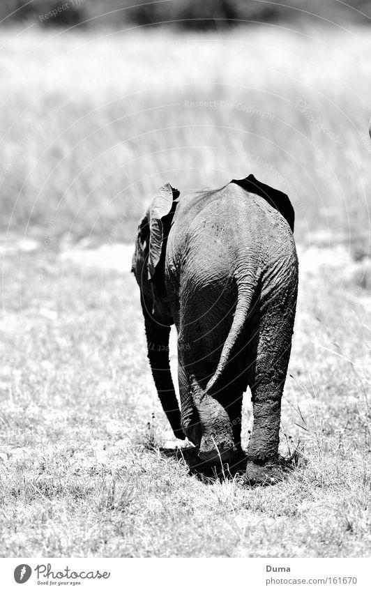 Nature Loneliness Grass Gray Landscape Africa Mammal Elephant Steppe Animal Safari Wilderness Trunk Kenya Savannah Baby elefant