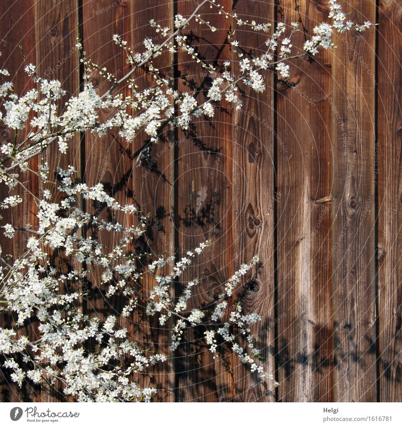 Nature Plant Beautiful White Environment Spring Blossom Natural Wood Exceptional Moody Brown Growth Authentic Bushes Blossoming