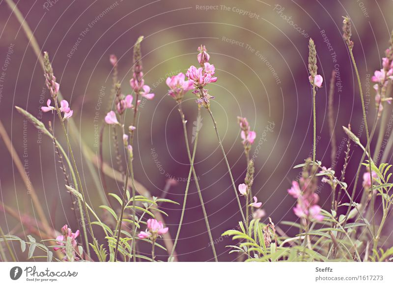 Nature Plant Green Summer Flower Meadow Pink Growth Summery Wild plant Flowering plant Meadow flower July Summer's day Bright green Summer feeling