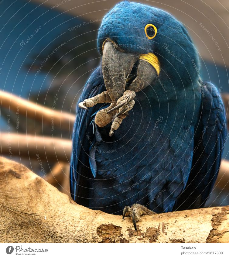 Blue Animal Yellow Friendliness Parrots