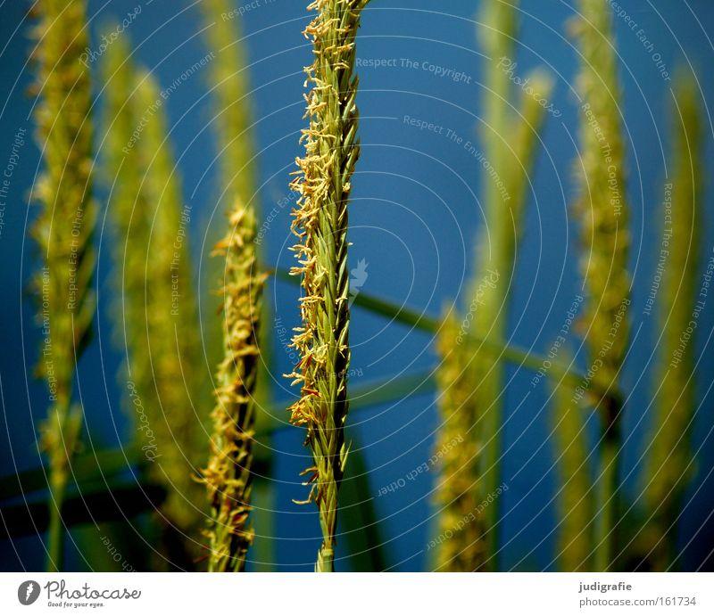 summer Grass Beach Coast Beach dune Sky Water Green Blue Summer Nature Environment Pollen Colour marram grass