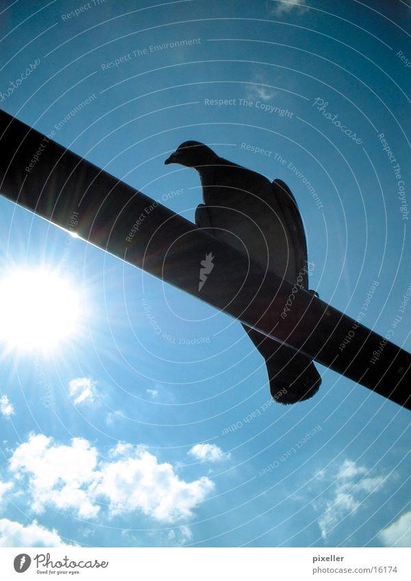 barred bird Pigeon Bird Rod Clouds Transport Sky Sun Blue Shadow siluette