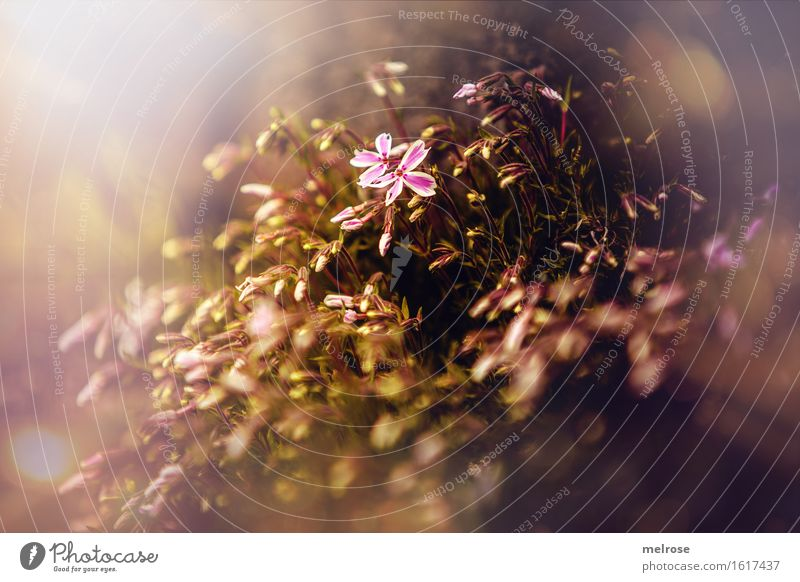 Nature Plant Beautiful Sun Flower Leaf Spring Blossom Style Garden Moody Brown Bright Pink Glittering Growth