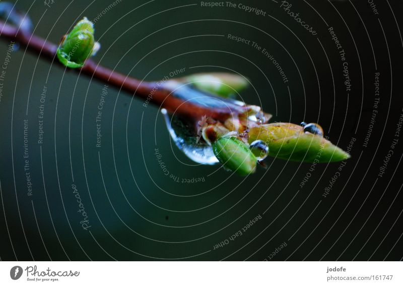 spring rain Branch Twig Drops of water Plant Bushes Nature Bubble Leaf bud Growth Spring Flourish Water Macro (Extreme close-up) Close-up flakes