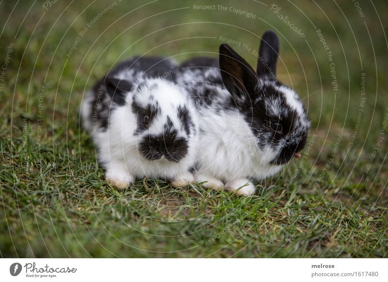 bähhhhhhhh Pet Animal face Pelt Paw hare spoon Pygmy rabbit Twin mammals Rodent 2 Baby animal Tongue Relaxation To enjoy Sit Friendliness Together Beautiful