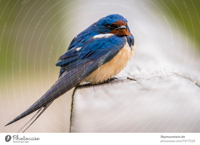 Swallow sits Environment Nature Animal Sun Sunlight Climate Weather Beautiful weather Garden Park Meadow Field Coast Lakeside River bank Beach Bog Marsh Pond