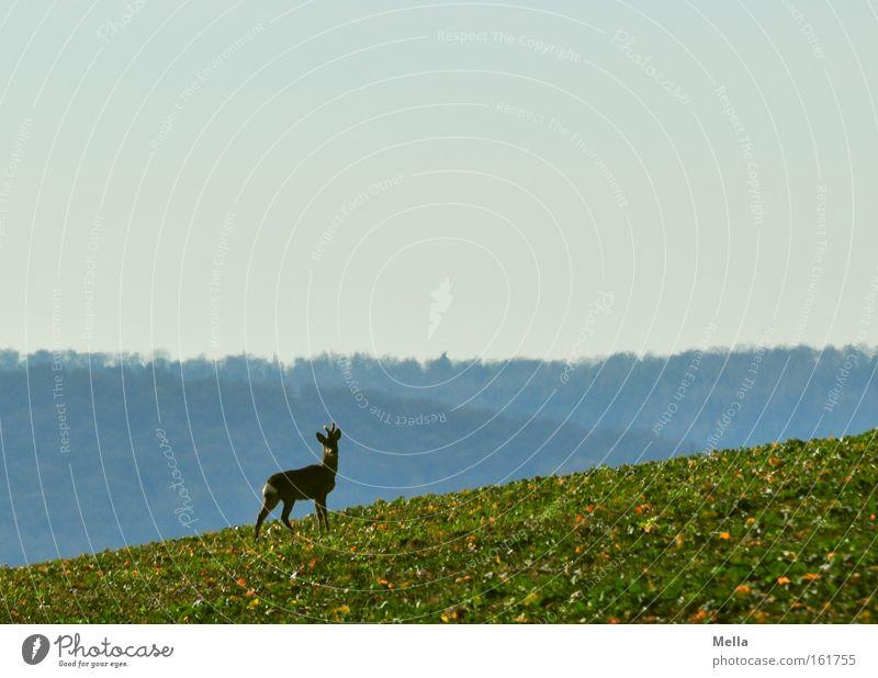 uphill Roe deer Wild animal Free Stand Watchfulness Looking Upward Field Forest Spring Mammal reindeer buck Tilt