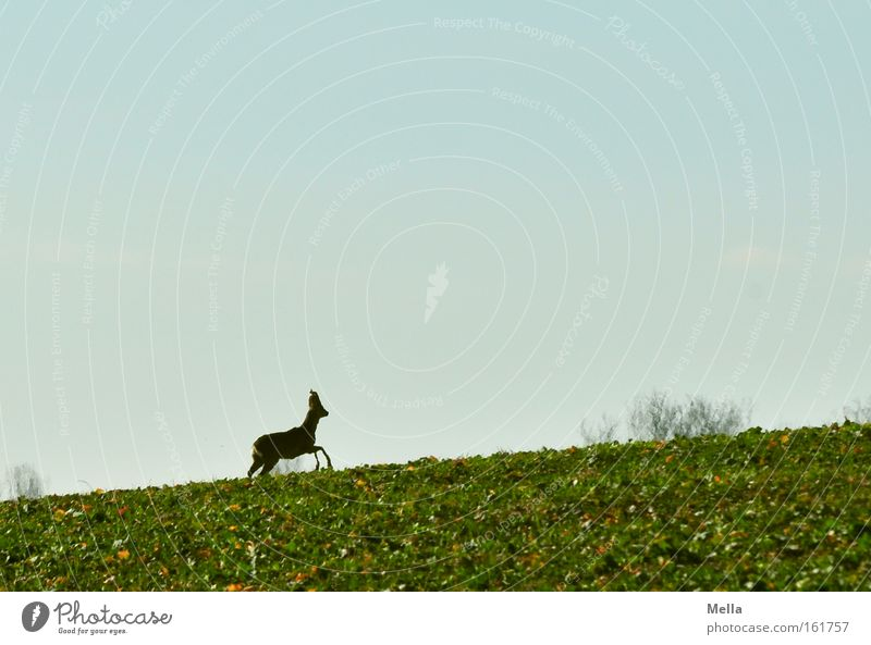 Spring Field Walking Wild animal Upward Escape Mammal Roe deer Flee