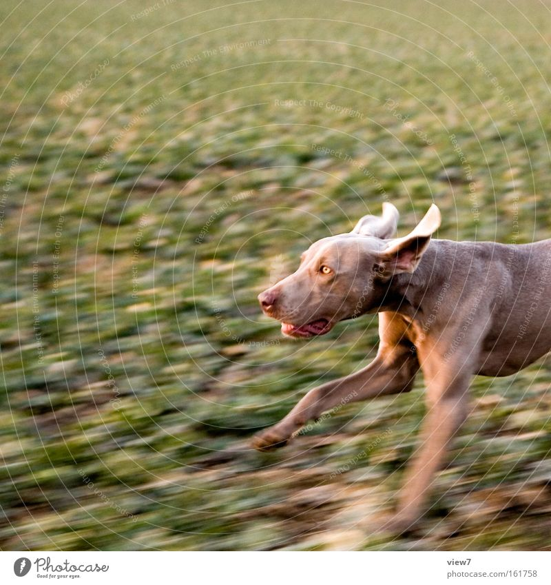 hunting dog Beautiful Hunting Field Pelt Animal Dog Paw 1 Breathe Running Walking Make Speed Willpower Determination Disciplined Concentrate Hound Snout