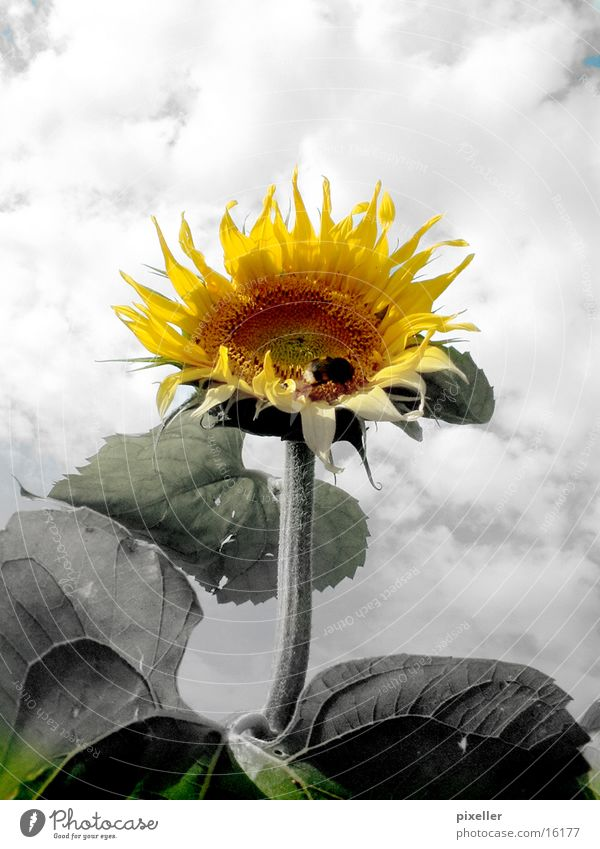 sunflower Flower Sunflower Plant Gray Yellow Clouds Sky