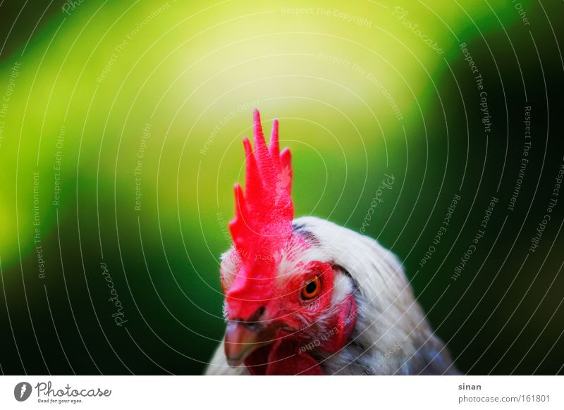 Nature Green Red Animal Head Bird Agriculture Beak Barn fowl Rooster Crest Free space
