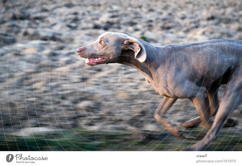 hunt Dog Hunting Hound Running Racing sports Running sports Walking Speed Field Pursue Paw Snout Pelt Weimaraner Concentrate Mammal Playing