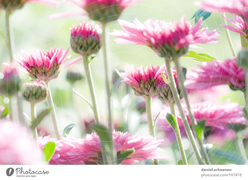 light green rosa pastels Flower Summer Spring Red Green Pink Bright Light Blossom Bud