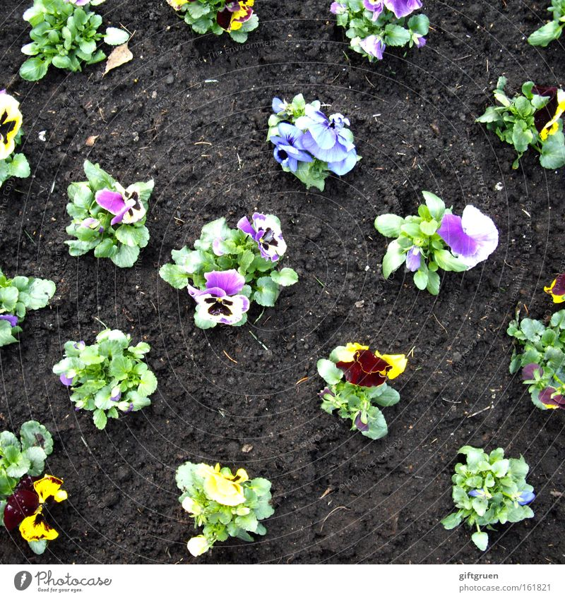Woe to him who dances from the line! Pansy Garden Spring Flower Blossoming Gardening Horticulture Garden Bed (Horticulture) Flowerbed Plant Line Direct