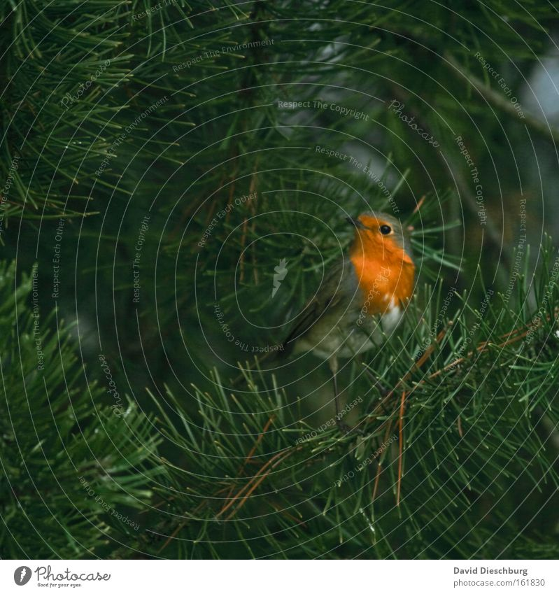 Wait & look Colour photo Exterior shot Close-up Day Contrast Nature Animal Plant Tree Foliage plant Wild animal Bird Wing 1 Green Robin redbreast Beak Songbirds