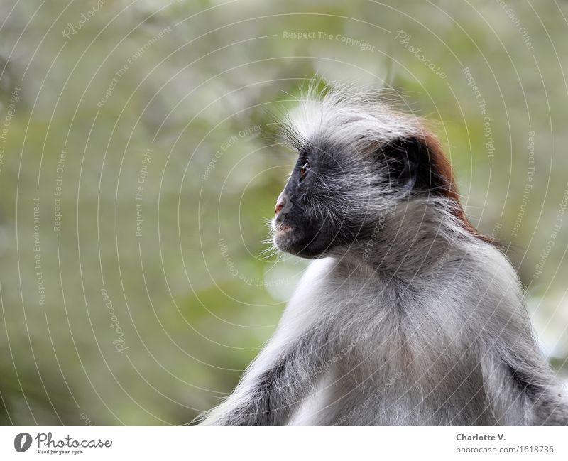 flat nose Animal Wild animal Monkeys Red Colobus Long-tailed monkey 1 Observe Crouch Looking Sit Exotic Gray Green Black Caution Serene Calm Curiosity Interest