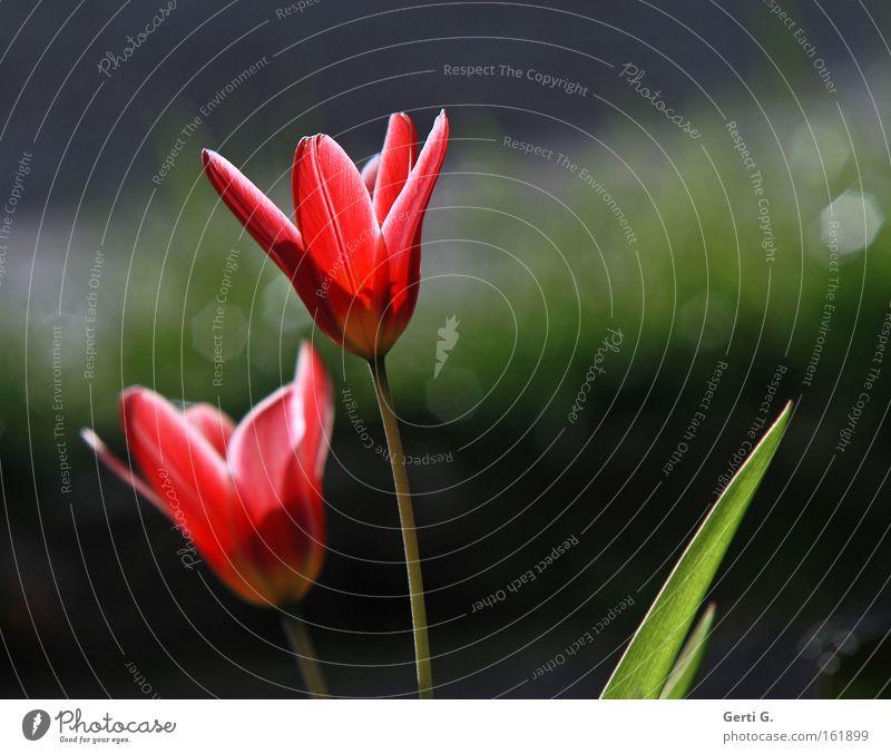 twosome Tulip Spring Flower Blossom Spring flowering plant Sunlight 2 heralds of spring background blur In pairs