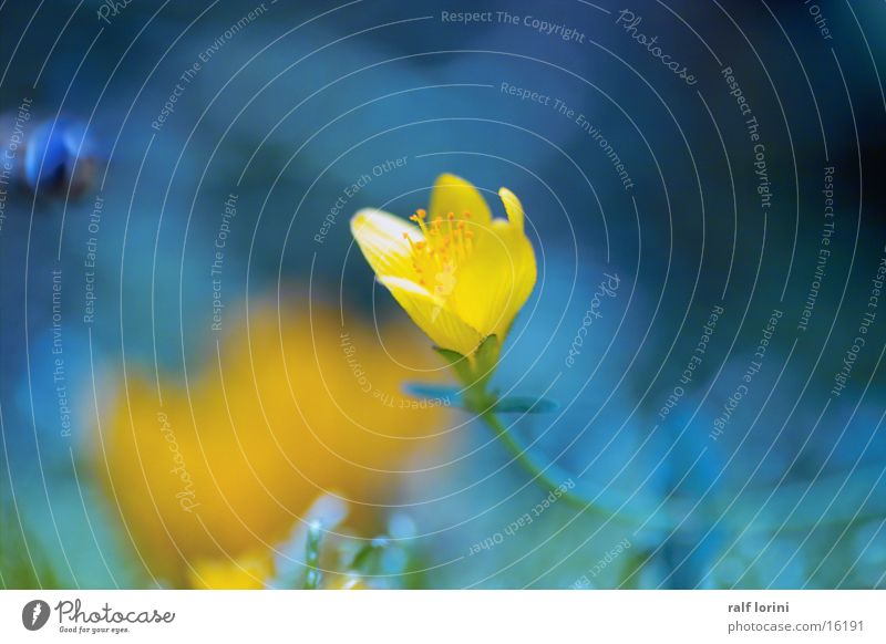 flower in blue Blossom Bee Yellow Nature Blue Snapshot