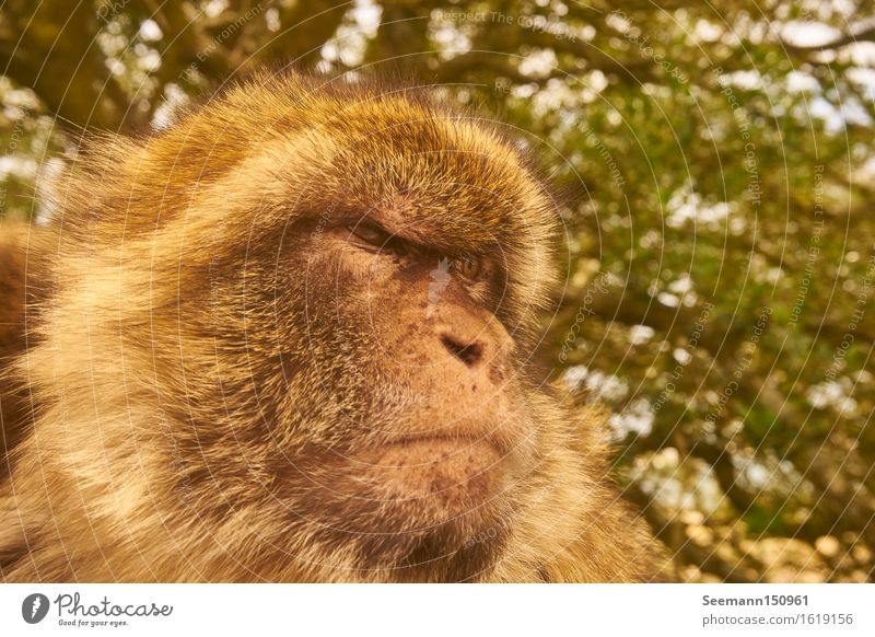 Barbary monkey Environment Nature Animal Gibraltar Wild animal Animal face 1 Observe Looking Sit Muscular Natural Smart Power Brave Determination Attentive