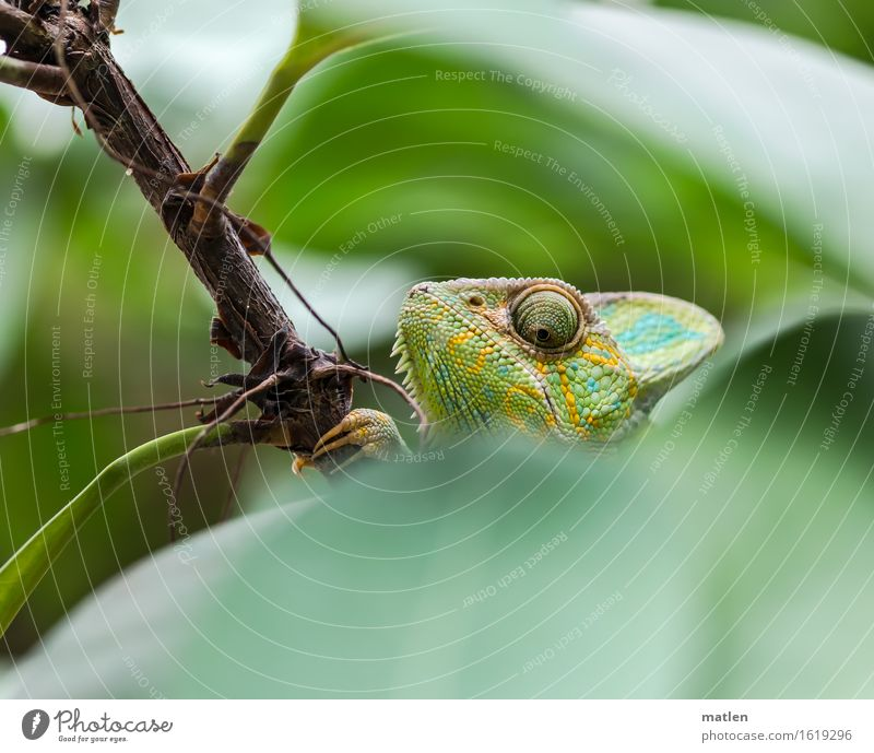 ...on the lookout, on the lookout... Tree Leaf Animal Animal face Brown Yellow Green Observe Chameleon Colour photo Exterior shot Close-up Deserted