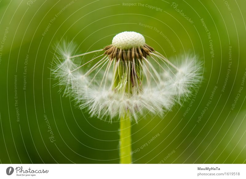 Dandelion Nature Plant Earth Summer Flower Grass Blossom Wild plant Garden Park Field Forest Relaxation Advancement Freedom Contentment Lose Change