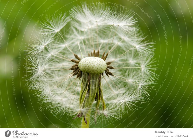 Dandelion Nature Plant Summer Beautiful weather Flower Grass Blossom Garden Park Field Forest Happiness Euphoria Cool (slang) Optimism Determination