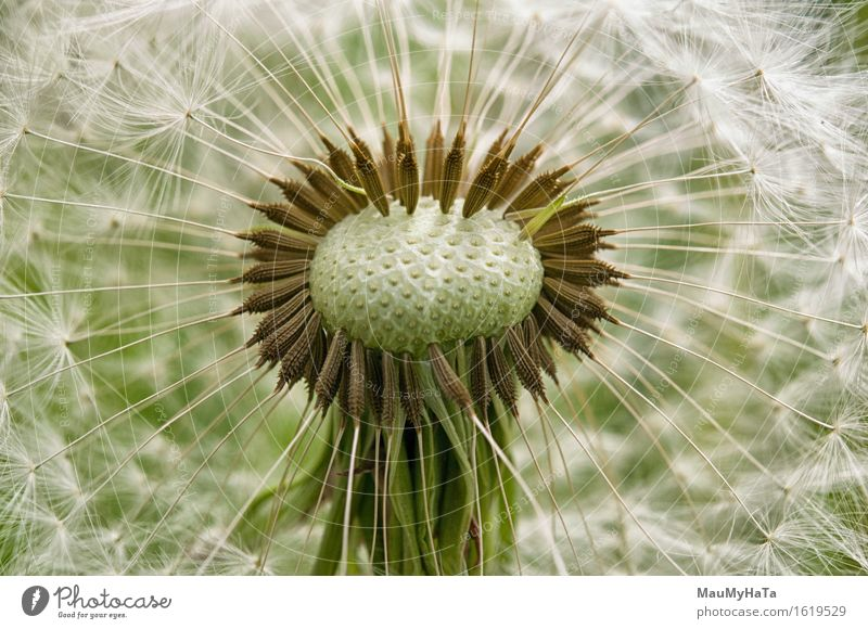 Dandelion Nature Plant Summer Beautiful weather Flower Grass Blossom Garden Park Field Forest Adventure Chaos End Success Advancement Freedom Emotions
