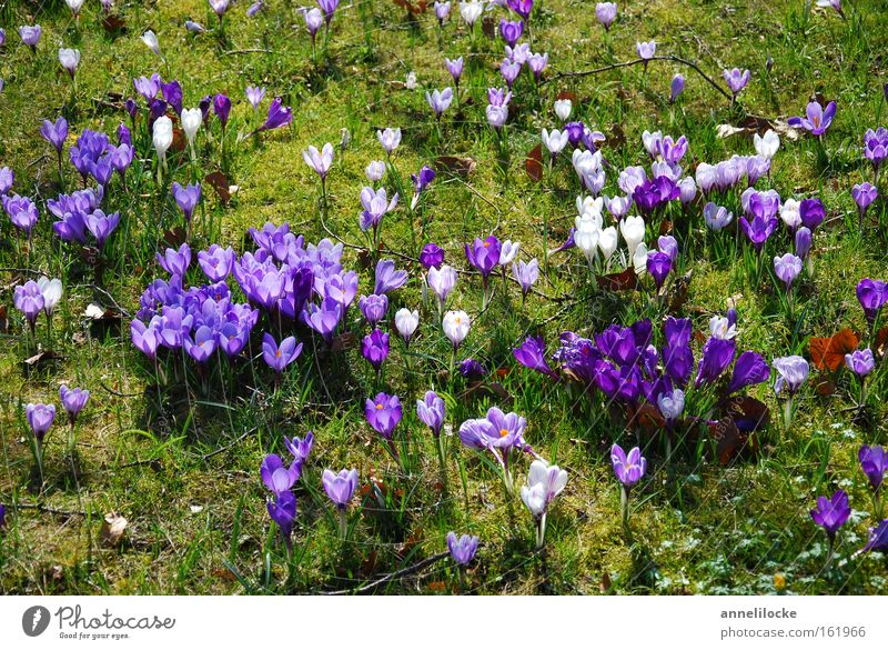Nature Flower Meadow Grass Spring Blossom Park Blossoming Delicate Violet Crocus Distributed